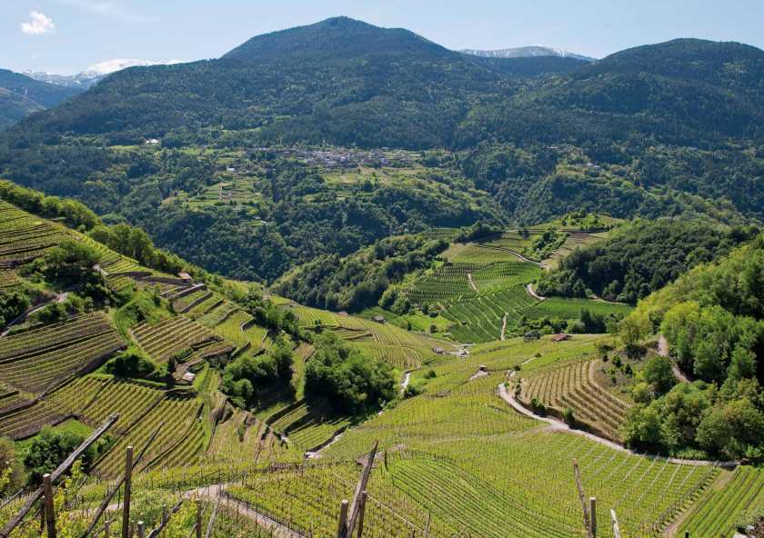 I-vigneti-cembrani-coltivati-a-Muller-Thurgau-1.jpg